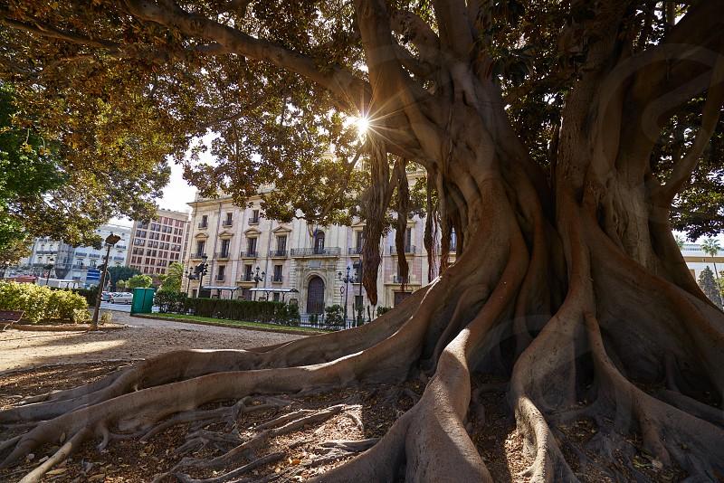 Valencia La Glorieta park big ficus tree in Spain photo