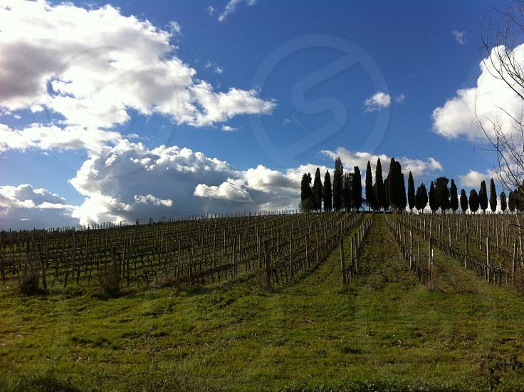 Chianti vineyards and cypresses photo
