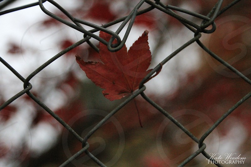 shallow focus photography of brown maple leaf on cyclone fence photo