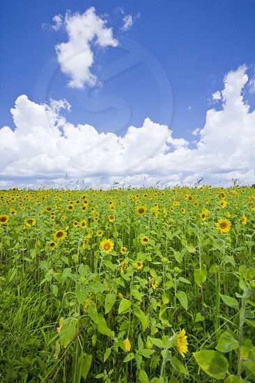 yellow sunflower plantation under white clouds and blue sky during daytime photo