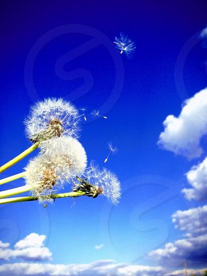 Family dandelions iphoneonly sky joy happy  photo