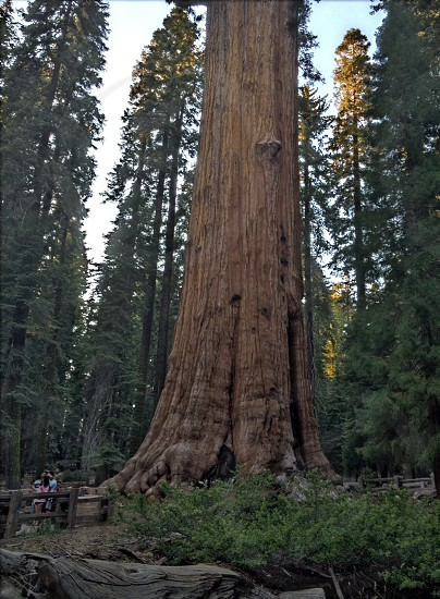 General Sherman - The Largest Living Thing on Earth photo