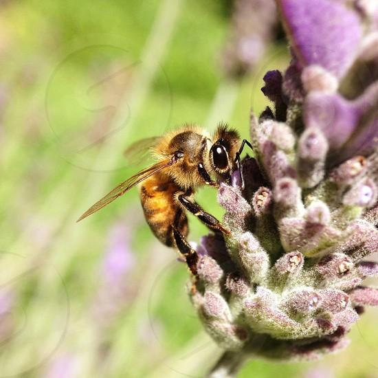 honeybee in purple flower macro photography photo