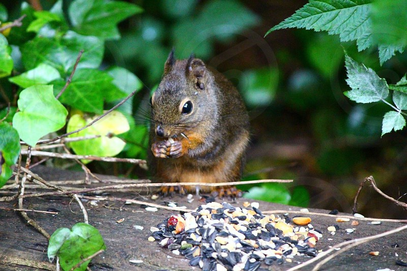 Squirrel Critter Nuts Animal Cute photo