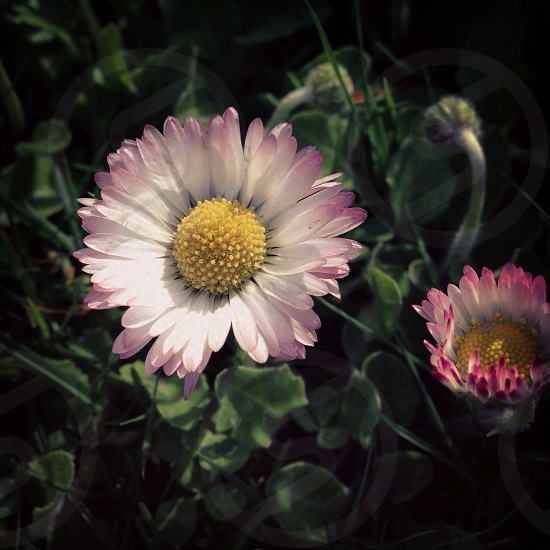 purple and white daisy flowers photo