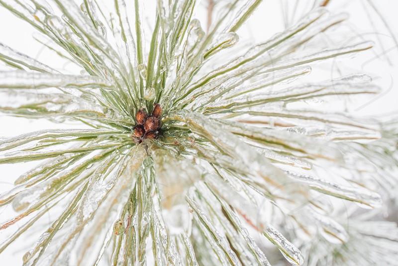 Pine sapling in Maine. photo