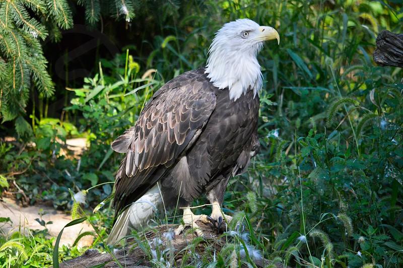 bald eagle bird eagle national symbol wildlife USA United States predator dominant  photo