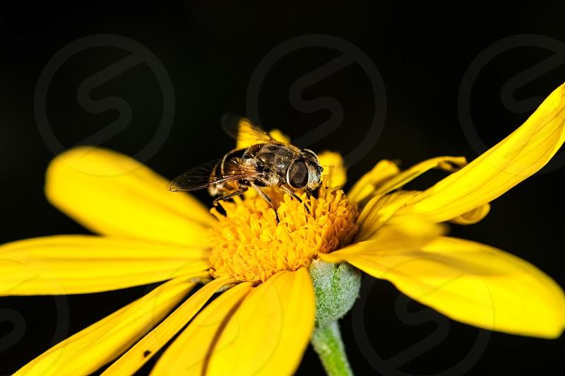Honey bee on a flower photo