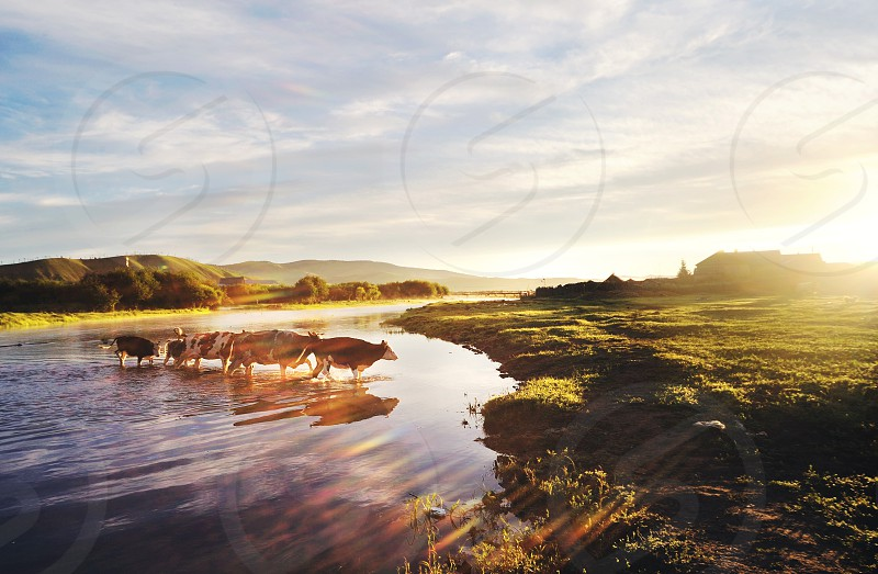 cows crossing a river towards a grassy field photo