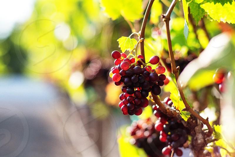 Vineyard grapes wine red wine harvest photo