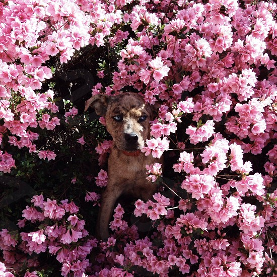 white and tan short coated dog near pink flowers photo