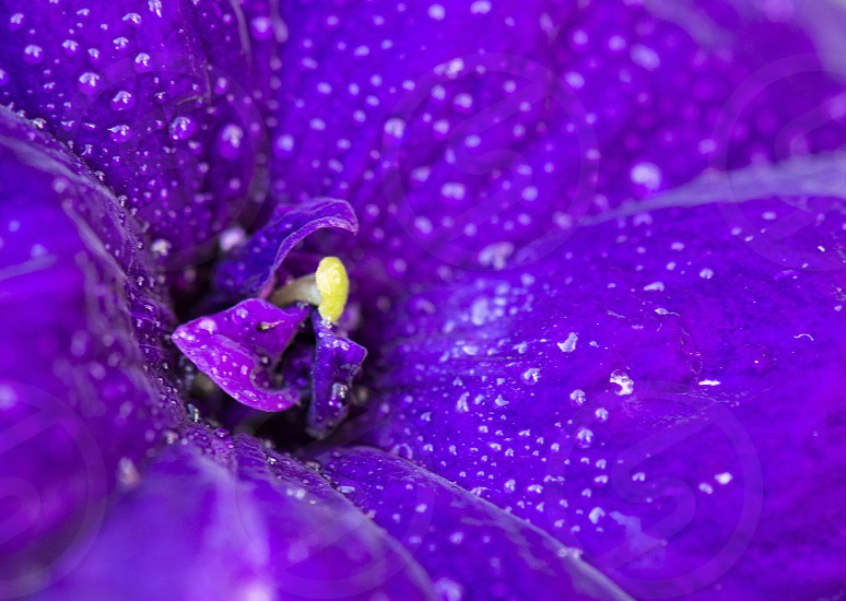 Ultraviolet violet purple shade hue colour colours color colorful colourful flower flora flowering blooming bloom inflorescence beauty in nature delicate fragile soft closeup close up close-up macro details petals nature photo