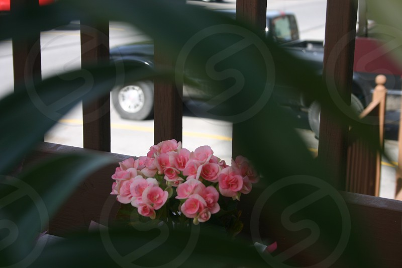 pink begonia by brown wooden railing photo