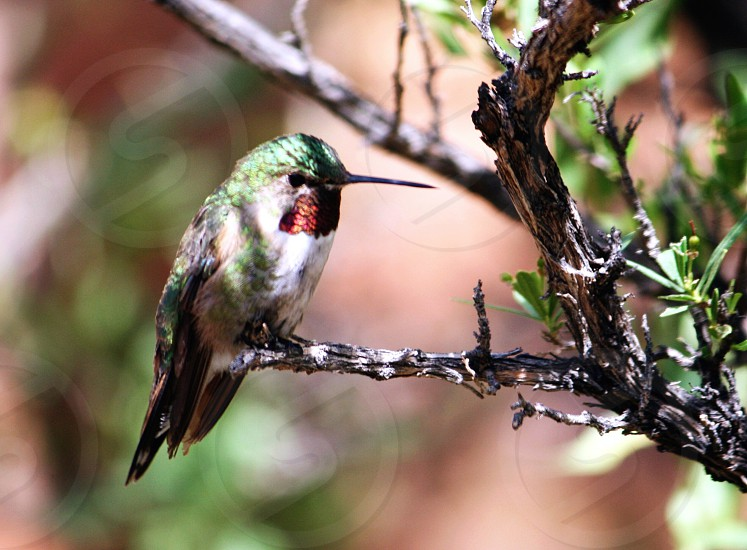humming bird sitting on tree branch photo