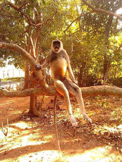 Wild LangurSri Venkateswara National ParkTirumalaIndia photo