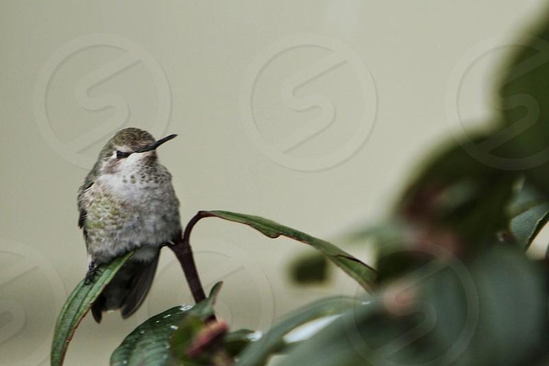 Annas Hummingbird resting on bush photo
