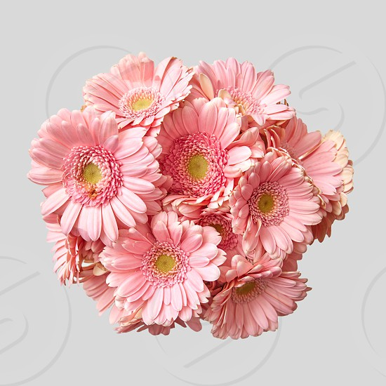 A beautiful bouquet of pink gerberas is taken from above for a greeting card on a gray background photo