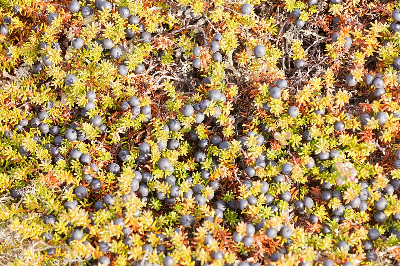 Black Crowberry plant Empetrum nigrum or Mossberry ripe black colored wild berries ready to pick nature background texture pattern photo
