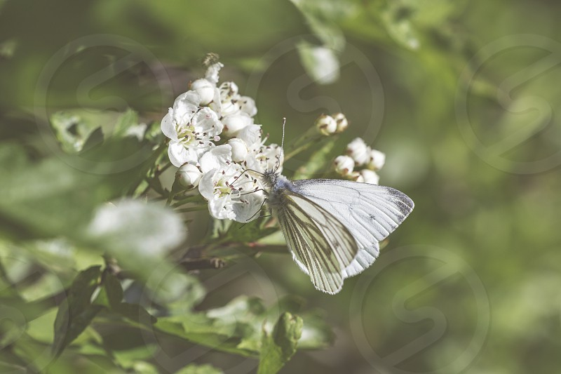 A shot of a white butterfly feeding on nectar a clear sign of spring. photo