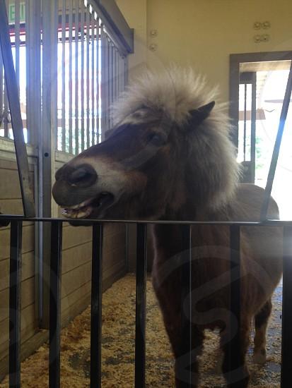 Happy miniature horse! photo