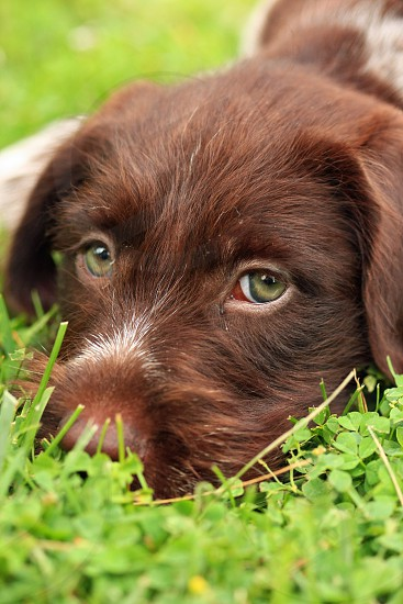 brown and white short haired medium breed dog on green grass field photo