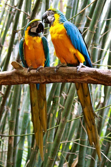 2 macaw on tree branch during daytime photo