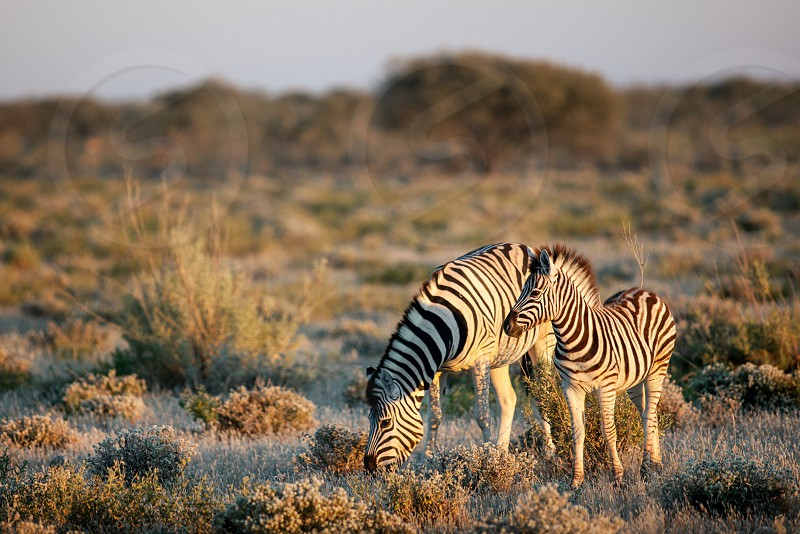 A female Zebra and it's young graze in the morning light in Etosha National Park in Namibia. photo