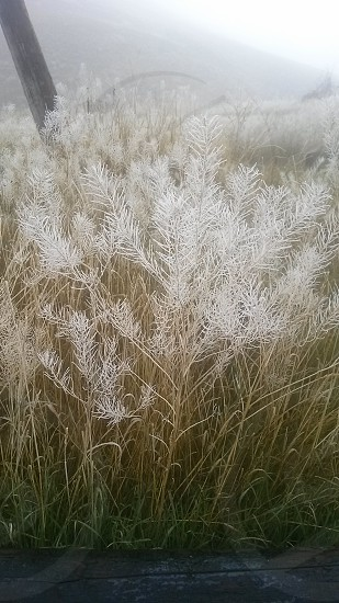 Frosty Grass photo