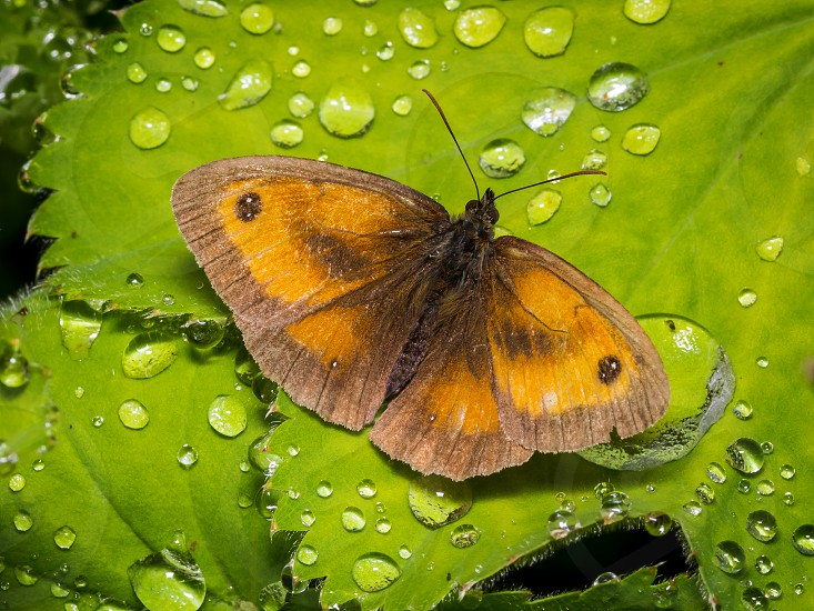 Gatekeeper Butterfly. The Gatekeeper Butterfly is a common butterfly of farmland gardens and scrub in southern and mid England and coastal Wales. This Gatekeeper was resting after a heavy shower of rain in  a garden in Laugharne Wales. photo