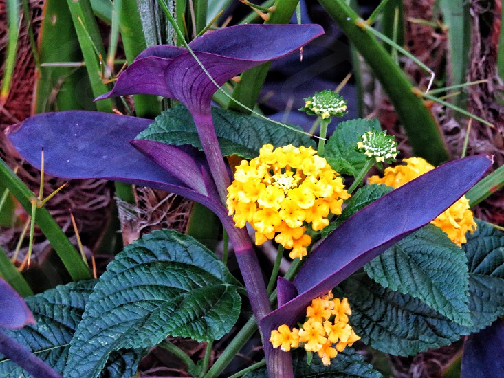 yellow lantana flowers and purple heart plant photo
