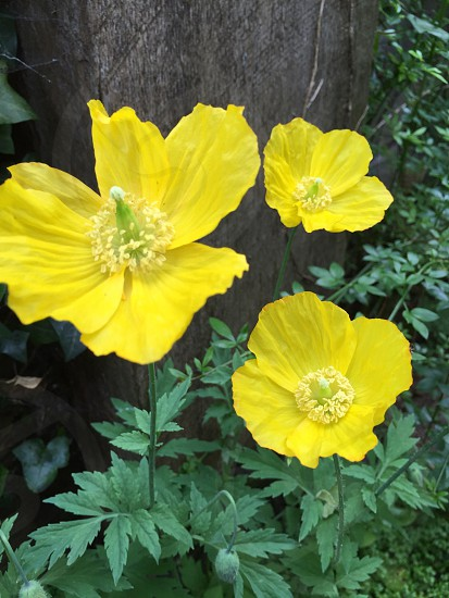 Poppy's  Welsh poppy. Wild flower   photo