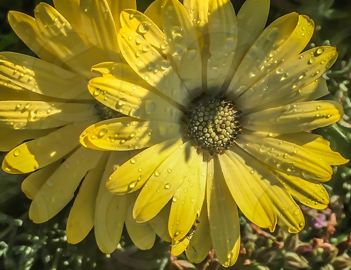 yellow daisy in close up photography during day time photo