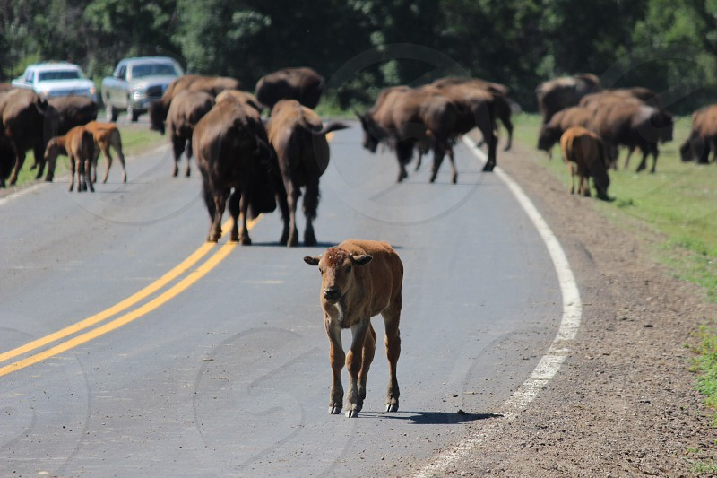 brown calf on the middle of the road photo