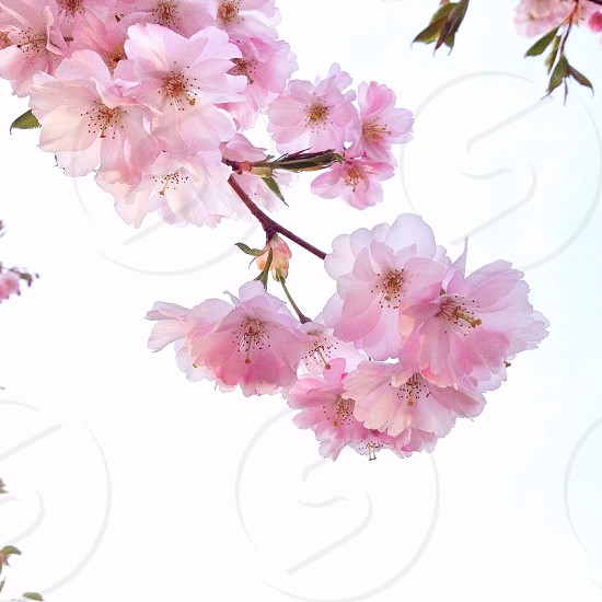 pink flowers on a tree branch photo