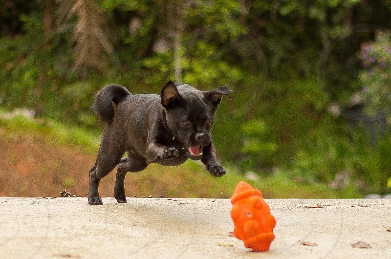 black dog playing with orange toy photo