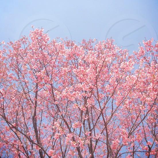 Blossom wall🌸🌸🌸🌸 photo
