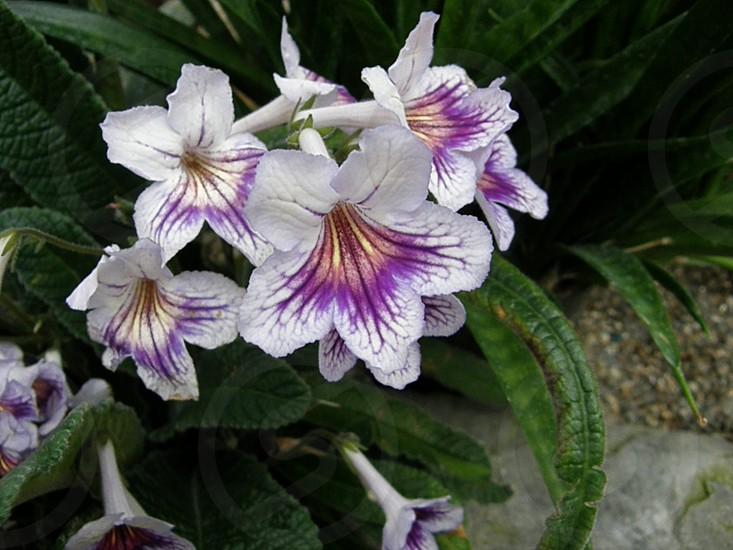 Flower pansy purple/white photo