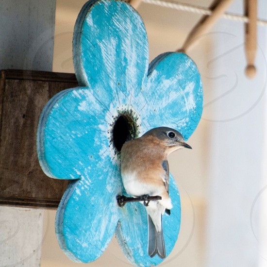 brown and white bird landing on a blue wooden flower decor photo
