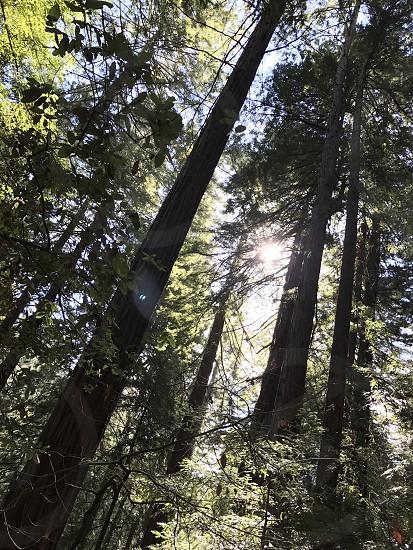Muriwoods oldest tree California nature trees motivation inspiration meditation  photo
