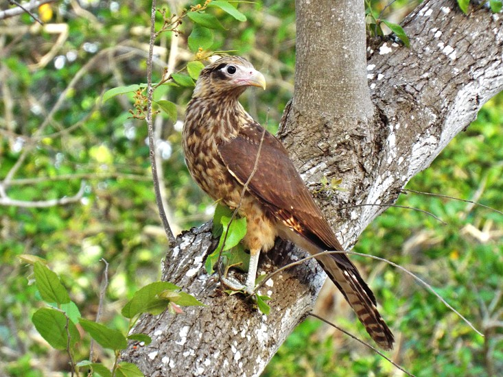 Falcon perched on a tree photo