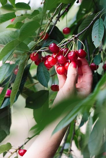 Woman picking cherry berries from tree photo