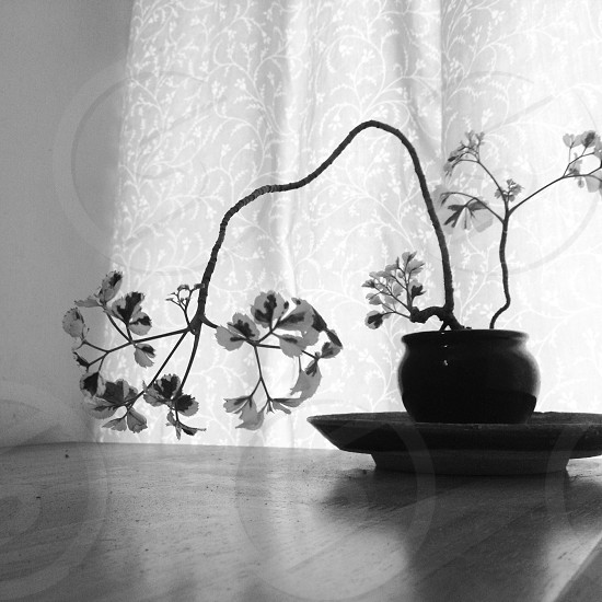 grayscale photography of potted flower near floral curtain photo