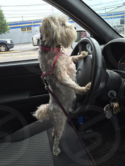 white gray long coated dog standing behind car steering wheel during daytime photo