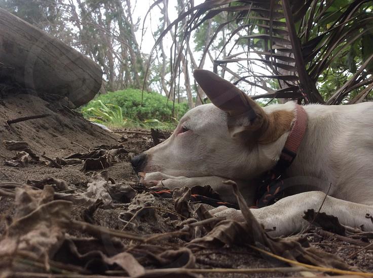 My beautiful puppy: Kealani lying on the shore of waiehu at waihe'e beach park. photo