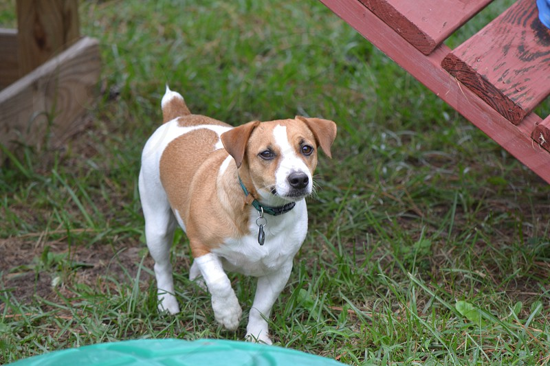 jack russell terrier on green grass photo