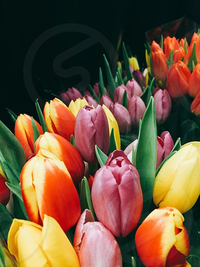 yellow purple and orange tulips close up photography photo