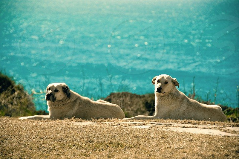 Two yellow dogs relaxing on a cliff by the sea. photo