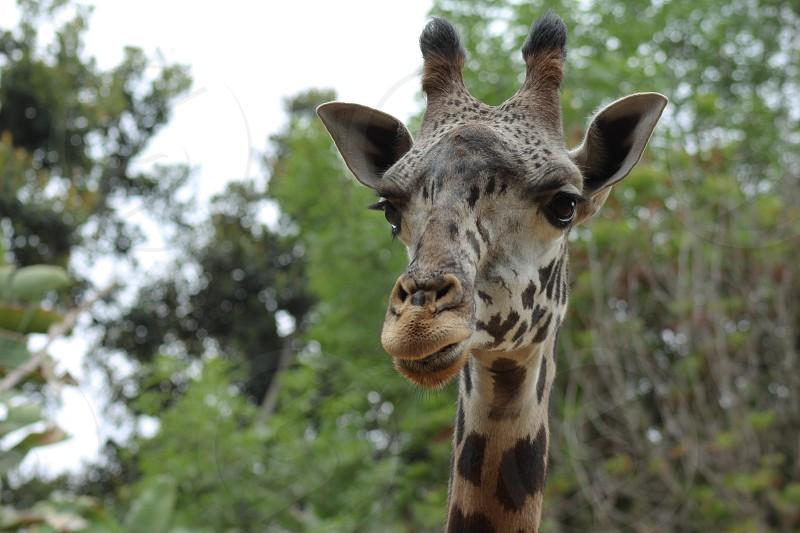 Los Angeles zoo giraffe nature perspectiveanimals mypic wildlife photo