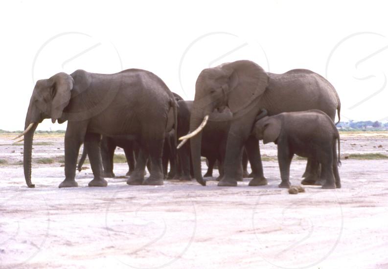 The elephant family. Amboseli National Park Kenya photo
