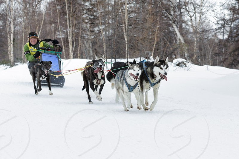 ESSO VILLAGE KAMCHATKA RUSSIA - MARCH 8 2013: Running dog sledge team Kamchatka musher Andrey Semashkin. Kamchatka extreme Dog Sled Race Beringia. Eurasia Russian Far East Kamchatsky Krai Bystrinsky Region. photo